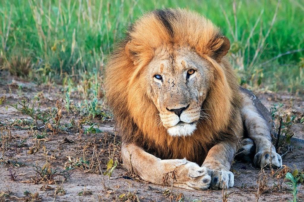 Lion Phinda Safari South Africa
