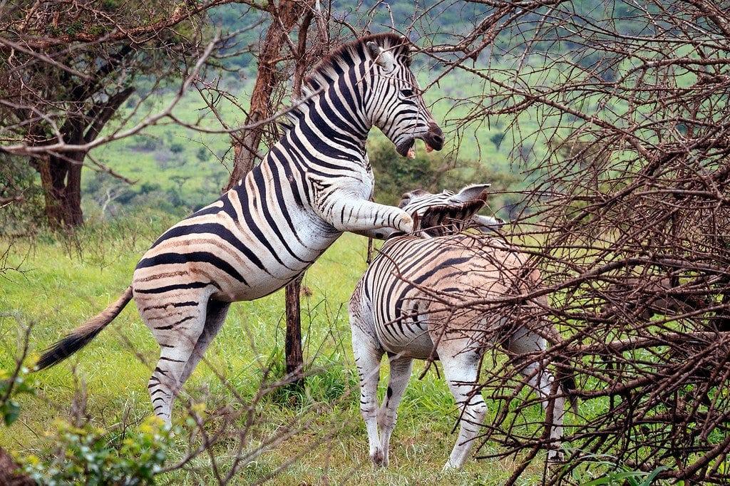 Zebra Phinda Safari South Africa