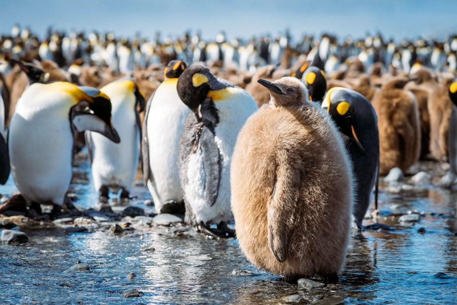 Baby Penguin Photo