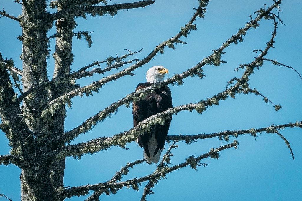 Vancouver Island Bald Eagle
