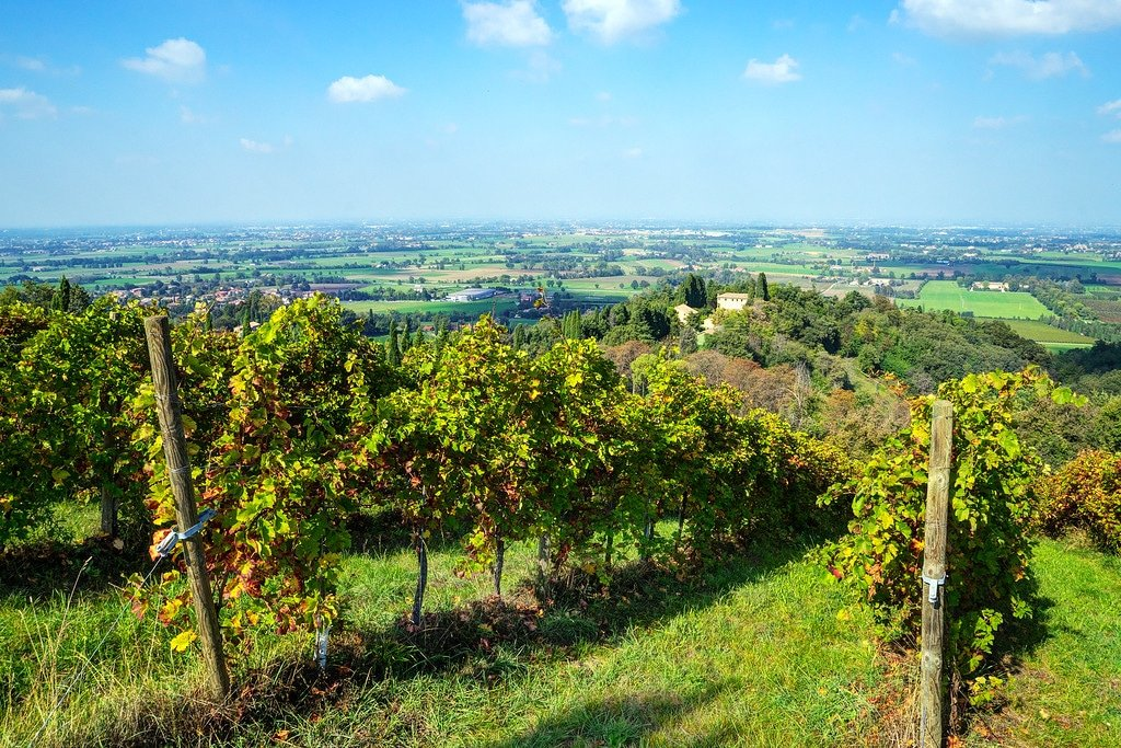 Grape Vineyard Italy