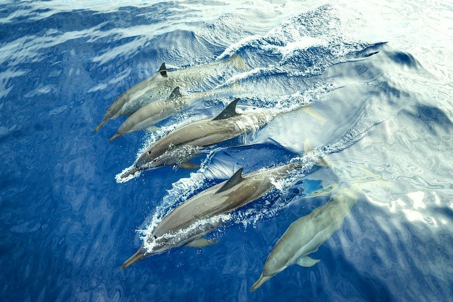 reunion spinner dolphins