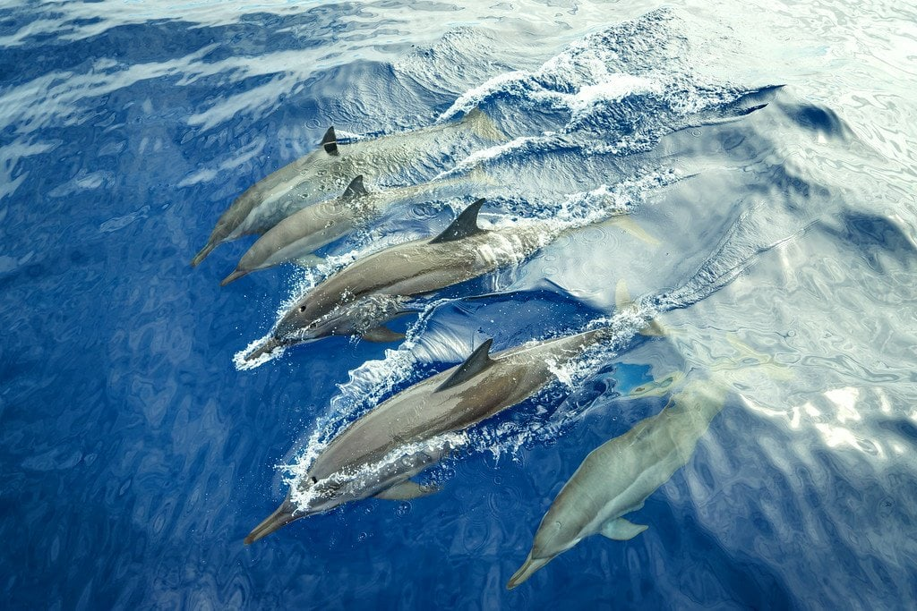 Dolphins Reunion Island