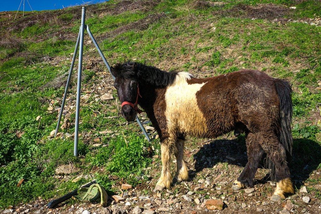 Gypsy Pony in Spain