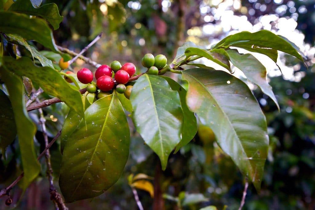 Guatemalan Coffee Trees