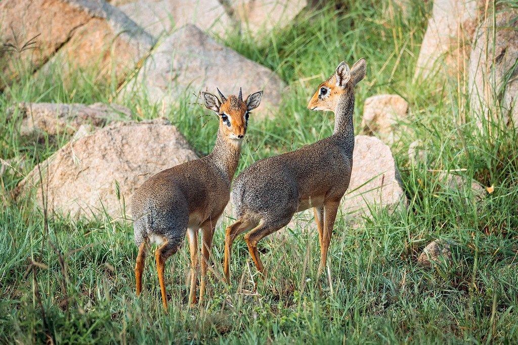 Serengeti Tanzania Dik Dik