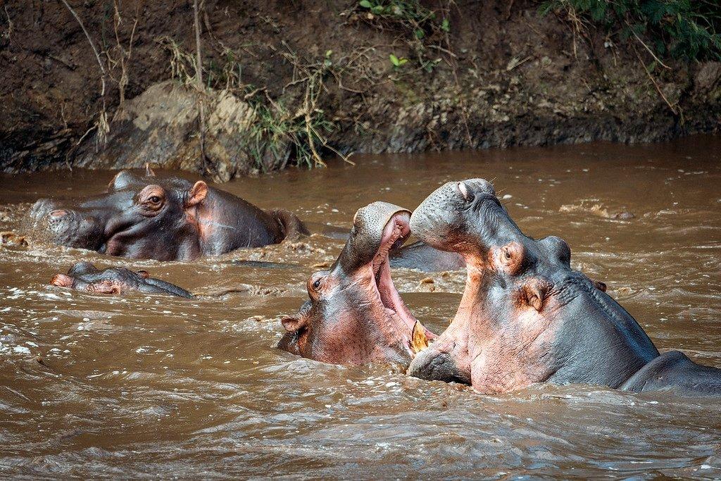 Hippos Fighting Tanzania