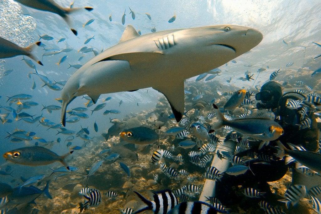 Grey Reef Shark Beqa Fiji