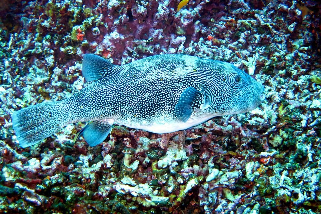 Spotted Puffer Similan Thailand