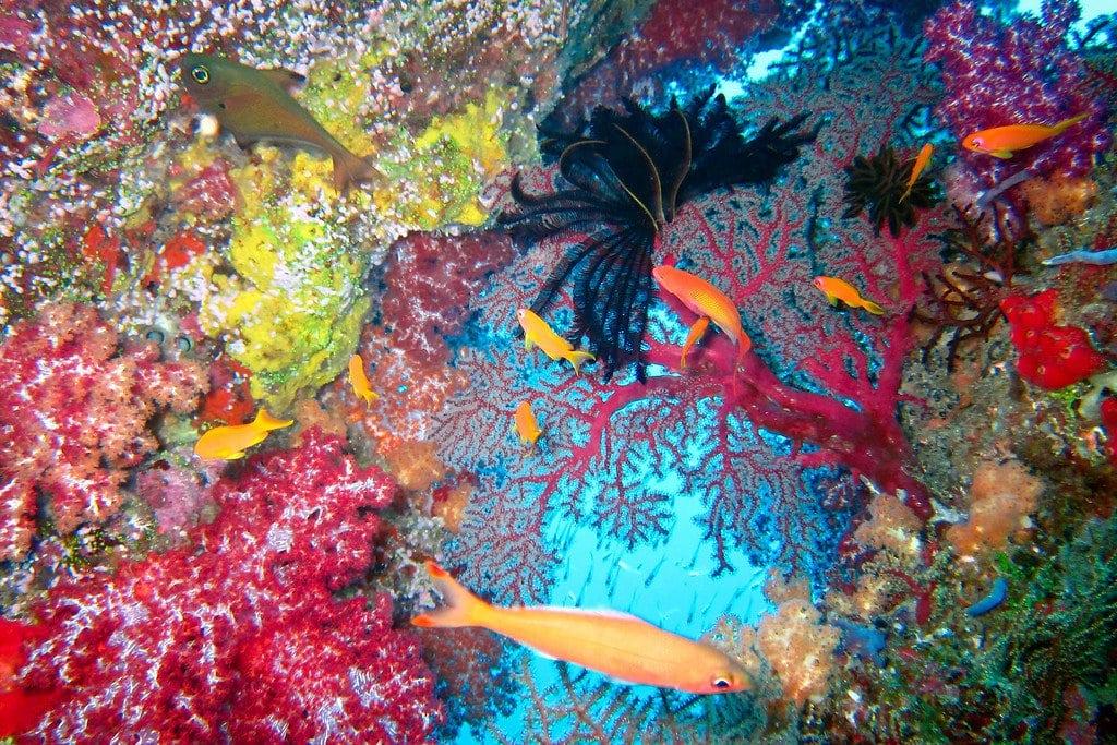 Soft Coral Similan Thailand