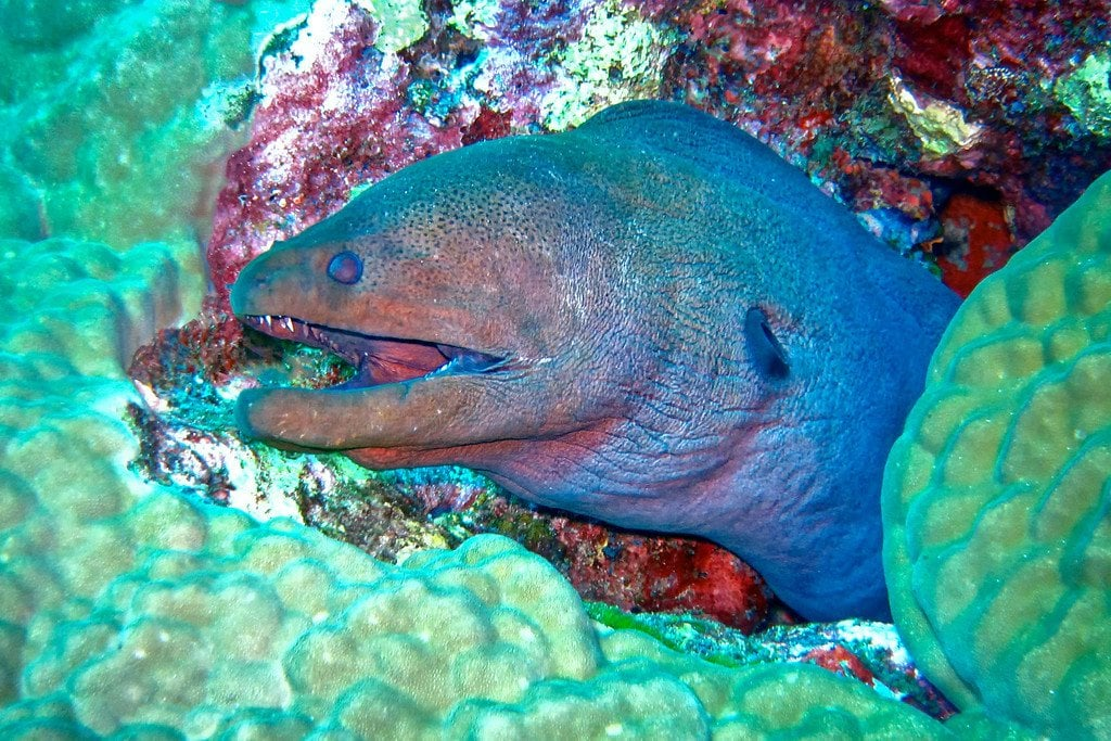 Moray Eel Similan Thailand
