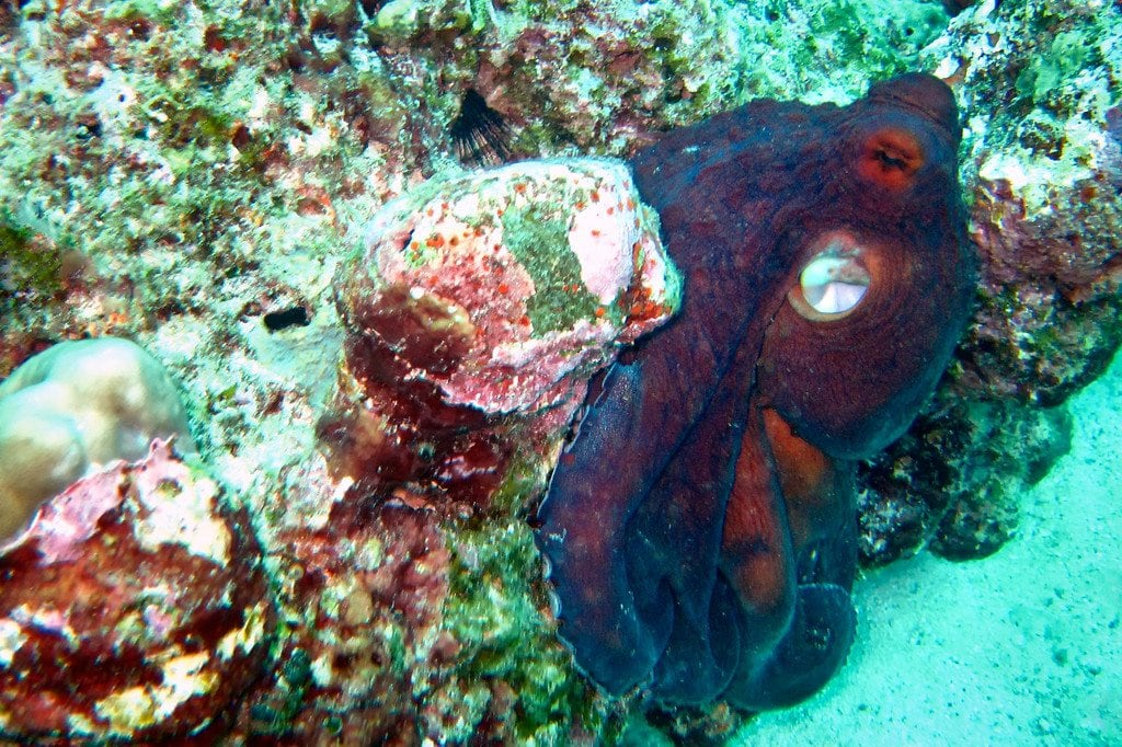 Red Octopus Similan Thailand