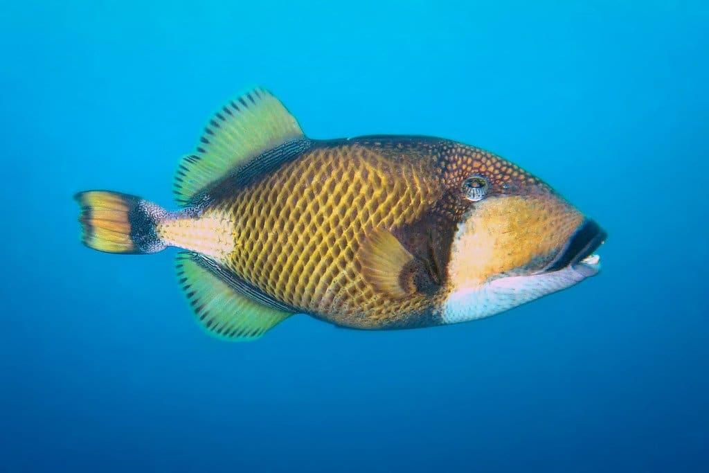 Trigger Fish Similan Islands Thailand