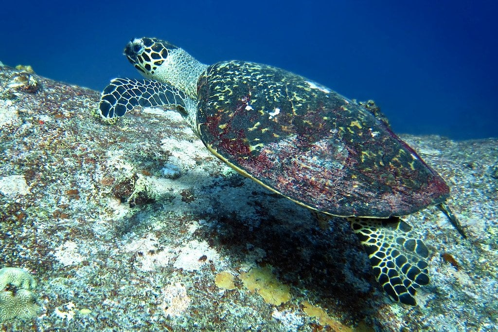 Hawksbill Sea Turtle Similan Thailand