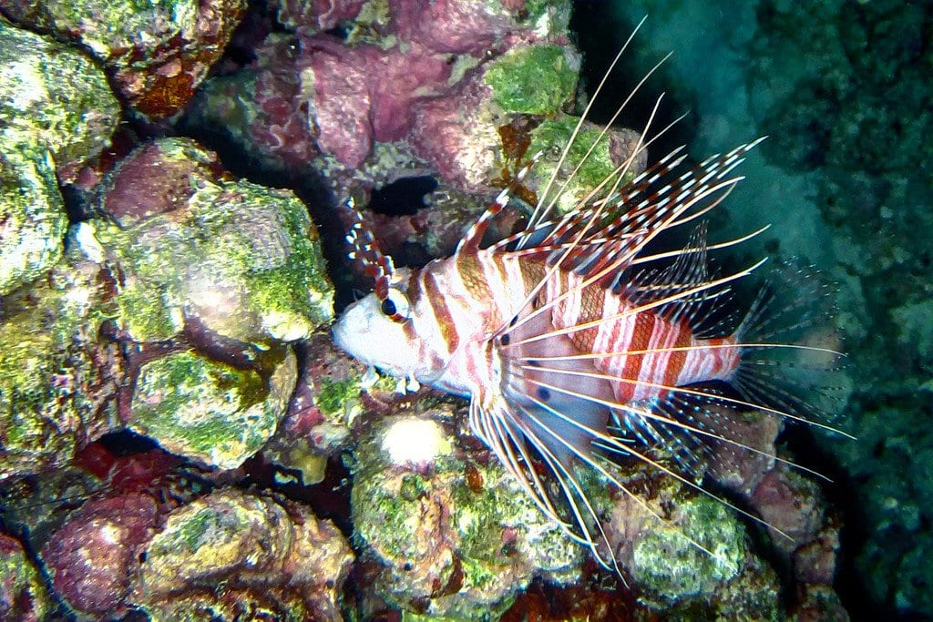 Spotted Lion Fish Similan Thailand