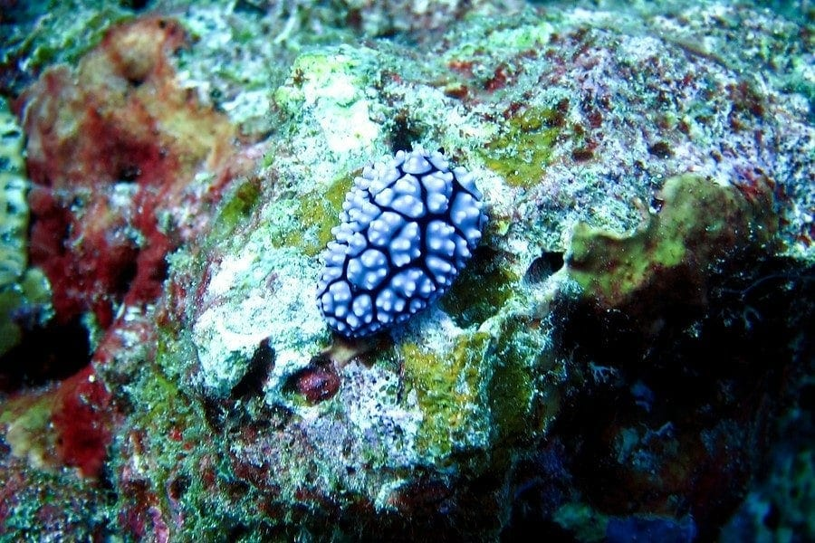 similan nudibranch sea slug