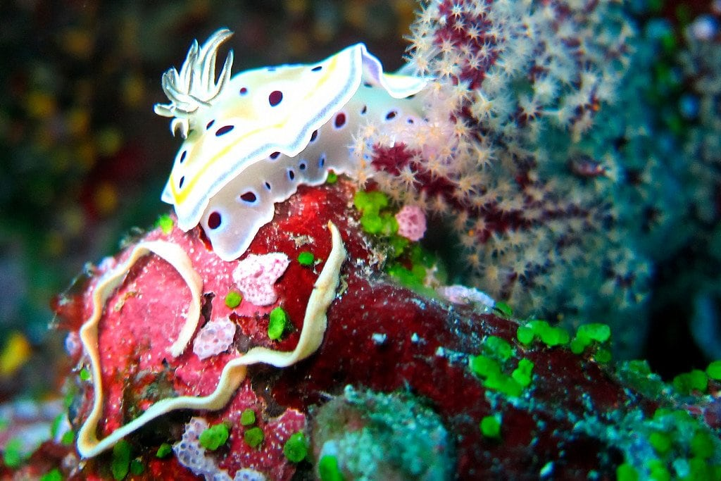 Nudibranch Slug Similan Thailand
