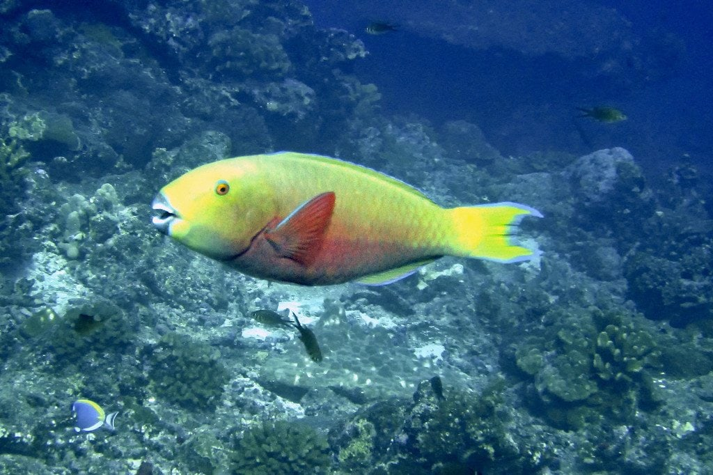 Parrot Fish Similan Thailand