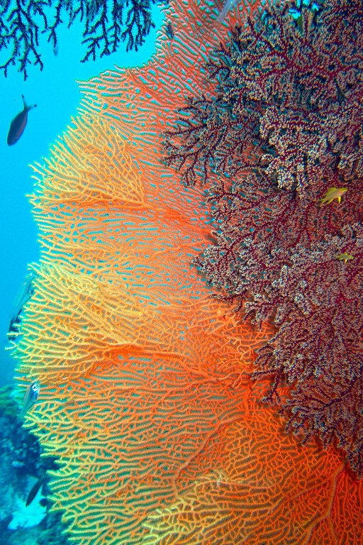 Sea Fan Similan Thailand