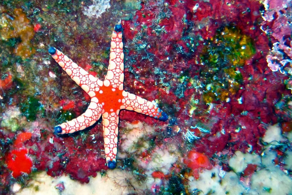 Sea Star Similan Thailand