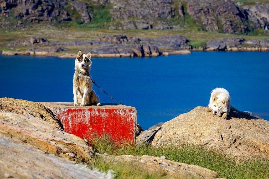 Sisimiut Sled Dogs