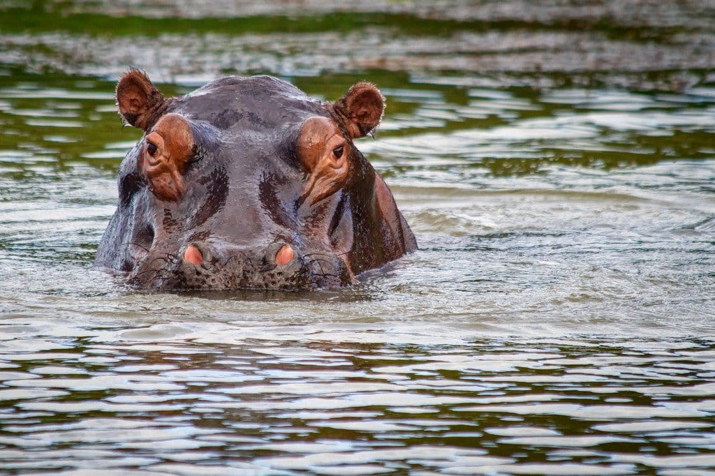 Hippopotamus iSimangaliso South Africa