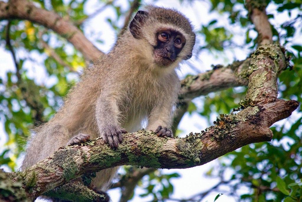 Monkey Phinda Safari South Africa