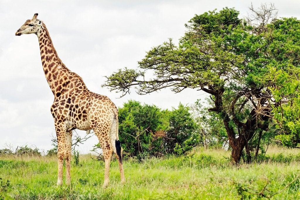 Giraffe Phinda Safari South Africa