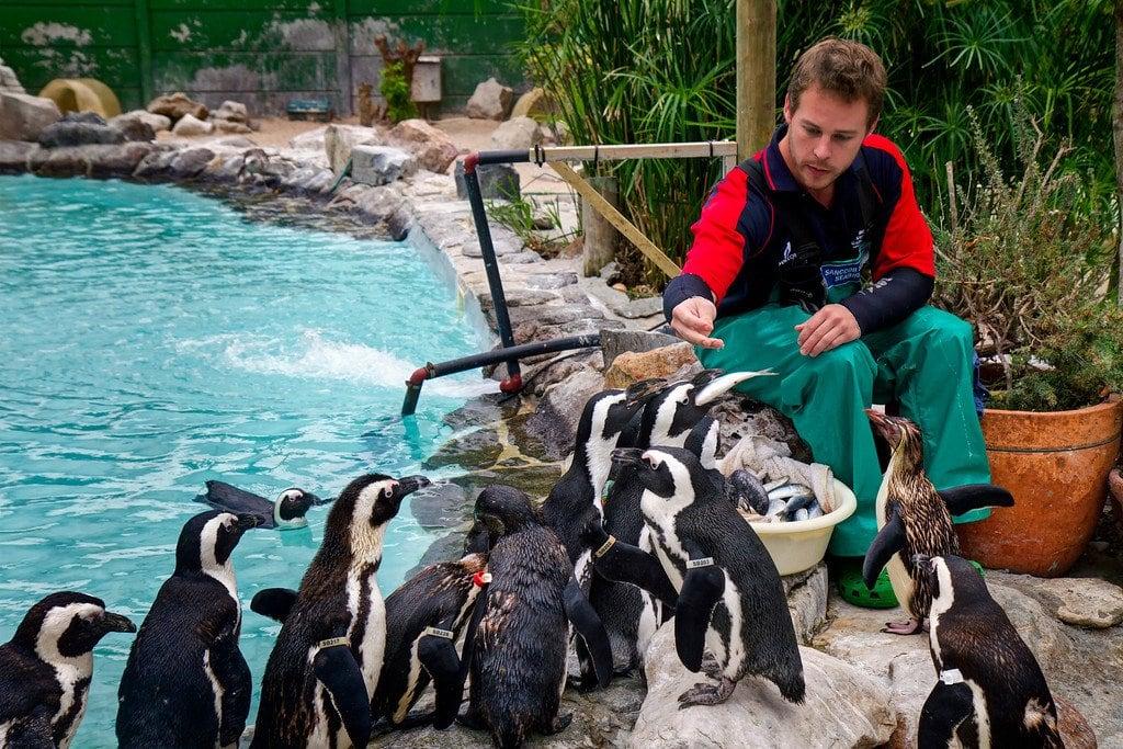 Penguin Feeding Sanccob South Africa