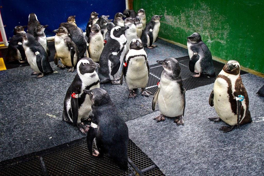 Penguins Sanccob Cape Town South Africa
