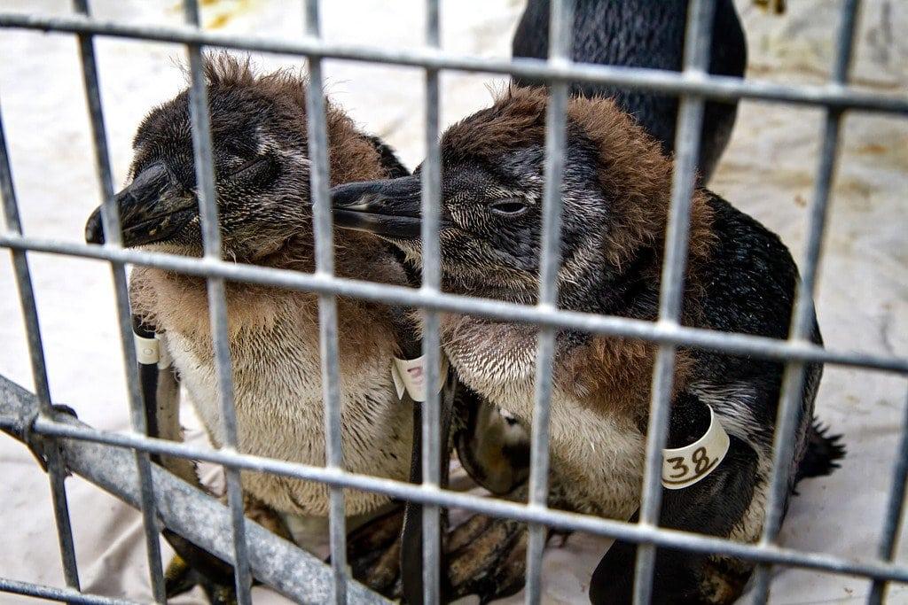 Penguins Sanccob Cape Town