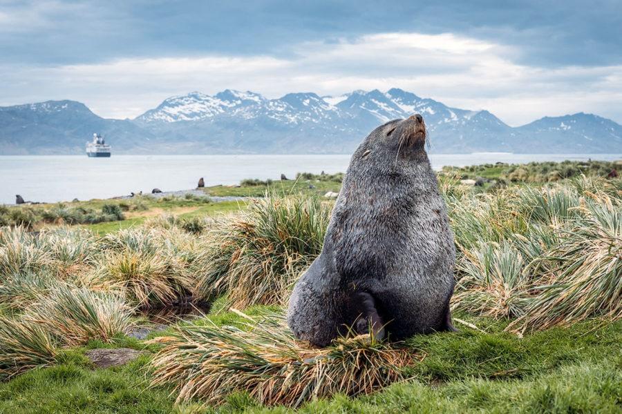 Fur Seal on Land