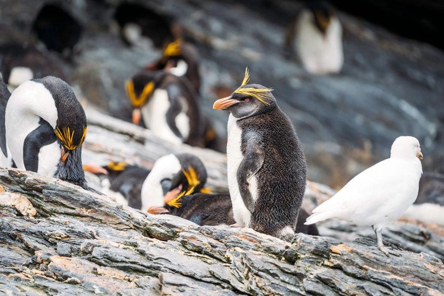 Macaroni Penguins in South Georgia