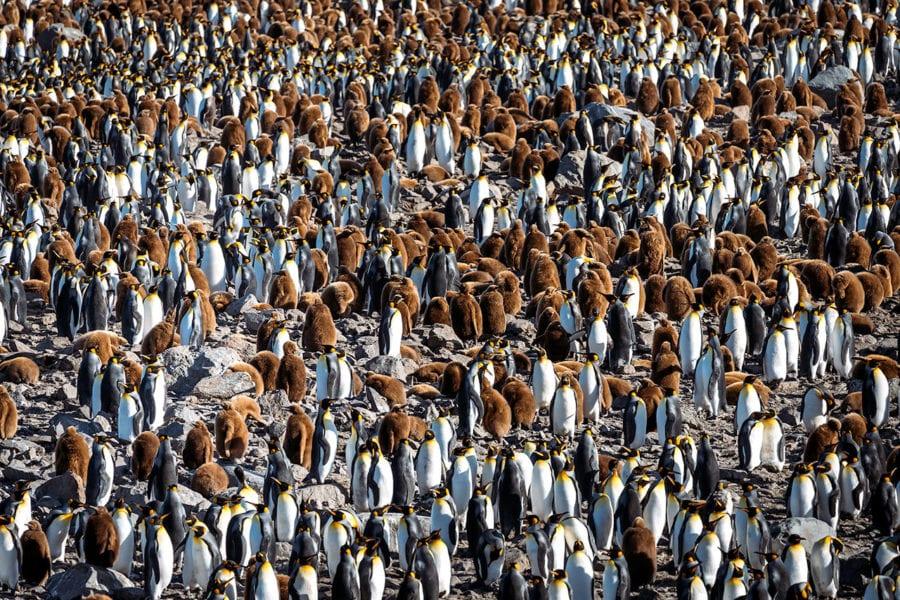 Penguins in South Georgia
