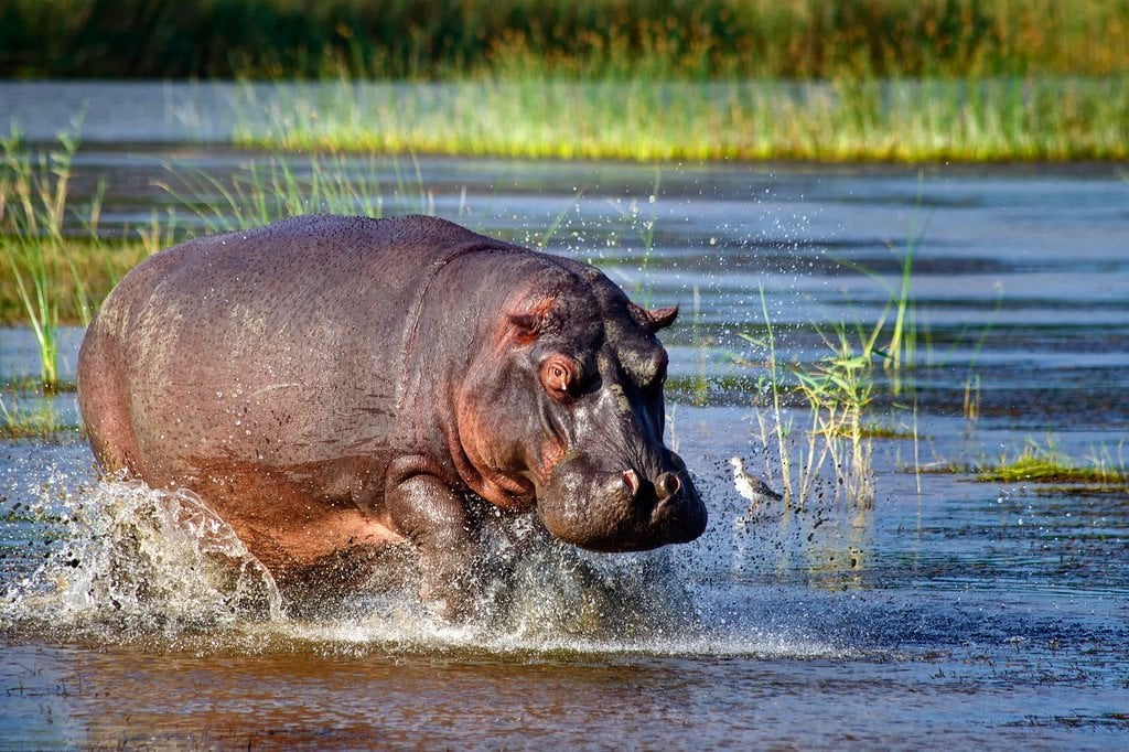 Hippo Charging St. Lucia South Africa