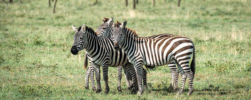 Zebras Tanzania