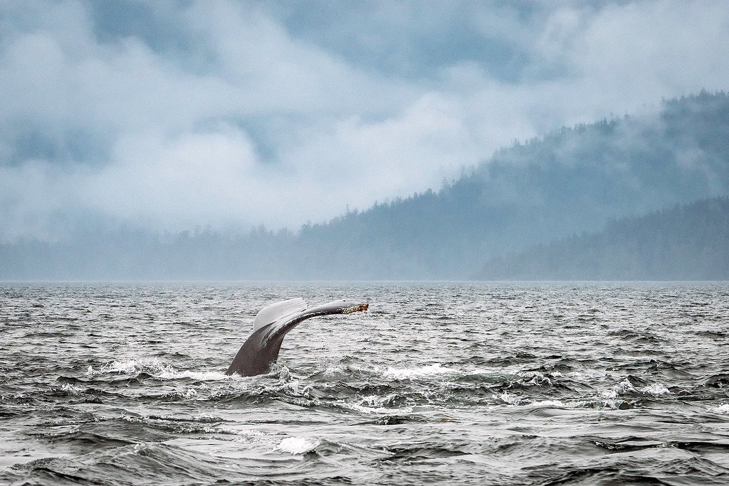 Humpback Whale Tail in the Water
