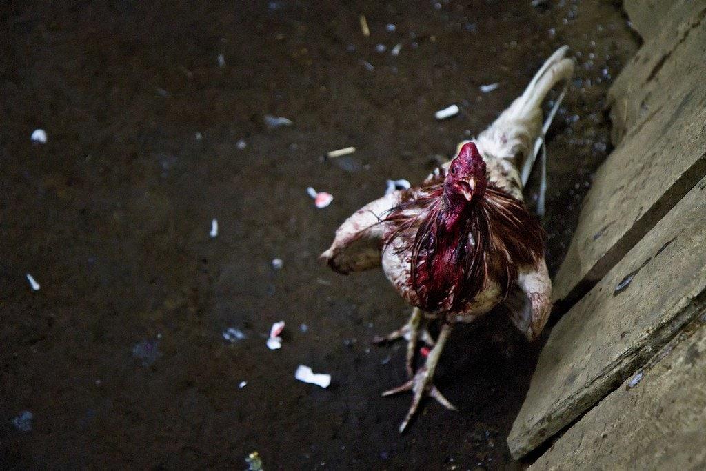 Cockfighting Nicaragua