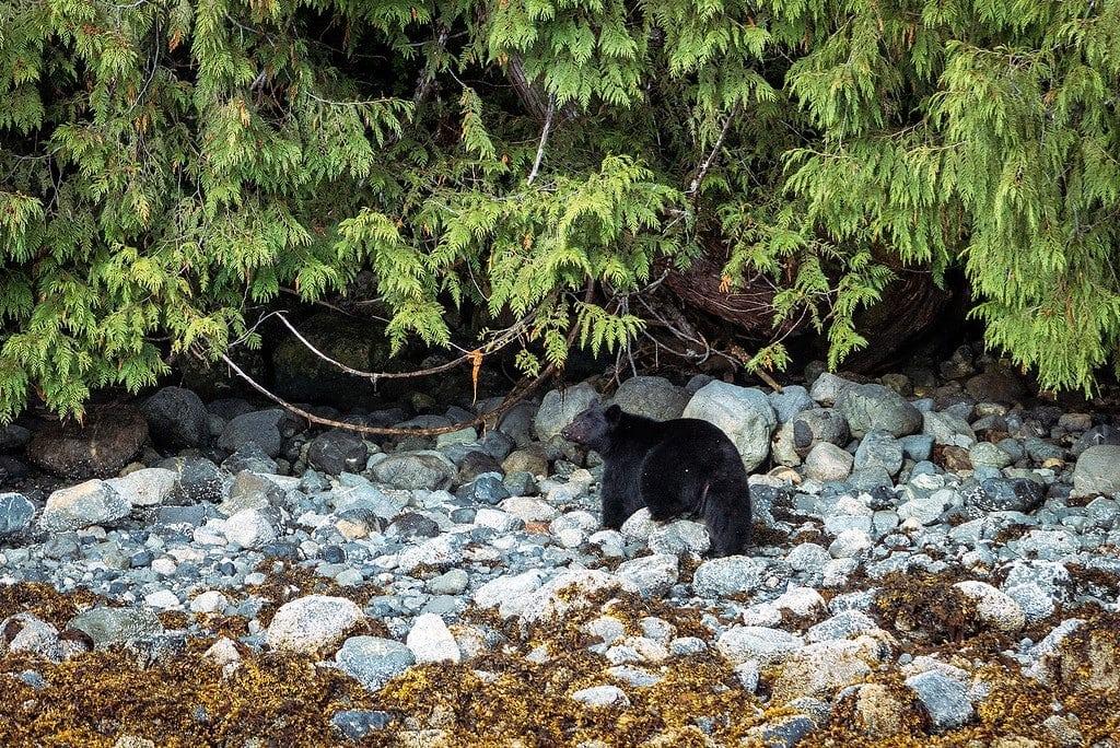 Black Bear Tofino