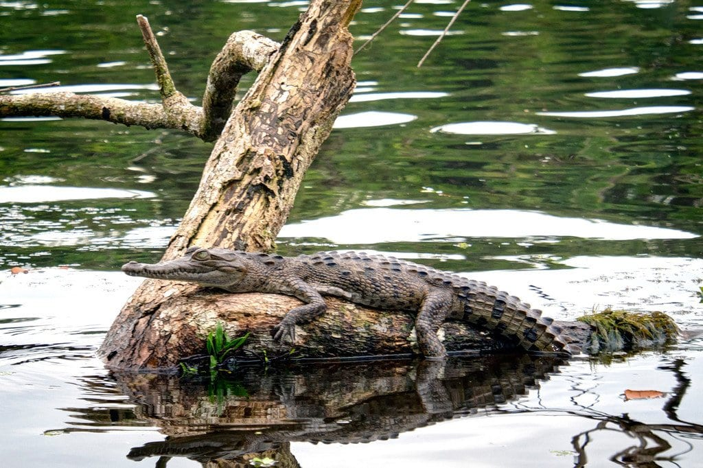 Tortuguero Crocodile Costa Rica