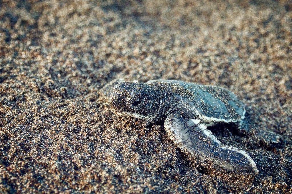 Baby Turtle Tortuguero Costa Rica