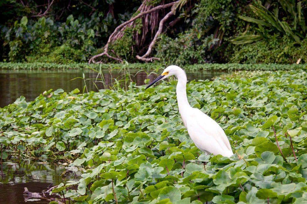 Snowy Egret Bird Costa Rica