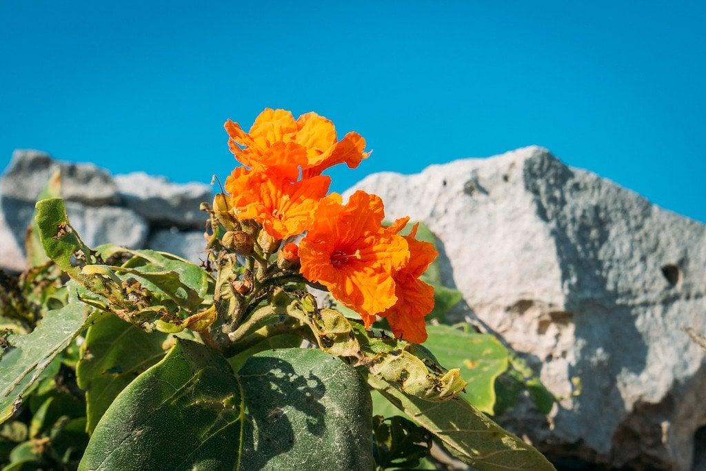 Orange Flower at Tulum Ruins