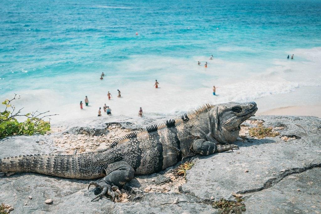 Iguana at Tulum Ruins in Mexico