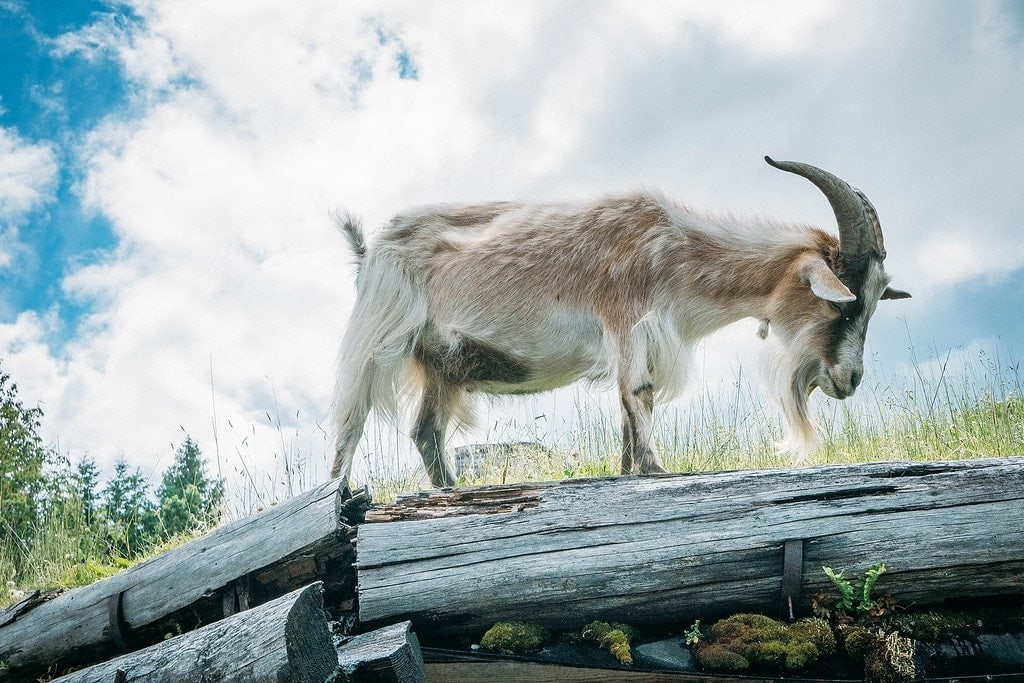 Coombs Vancouver Island Goats